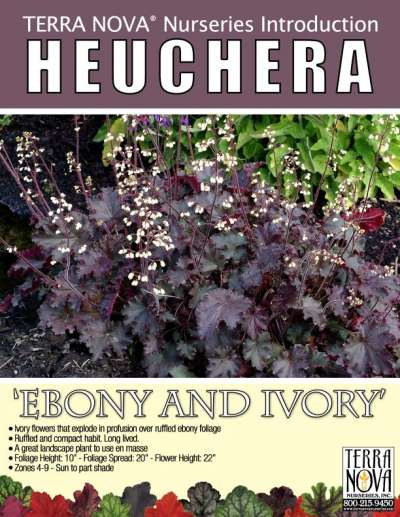 Heuchera 'Ebony & Ivory' - Product Profile