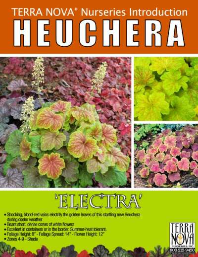 Heuchera 'Electra' - Product Profile