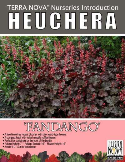Heuchera 'Fandango' - Product Profile