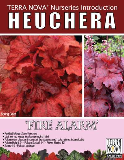 Heuchera 'Fire Alarm' - Product Profile