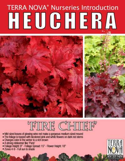 Heuchera 'Fire Chief' - Product Profile