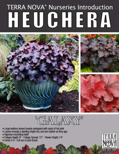 Heuchera 'Galaxy' - Product Profile