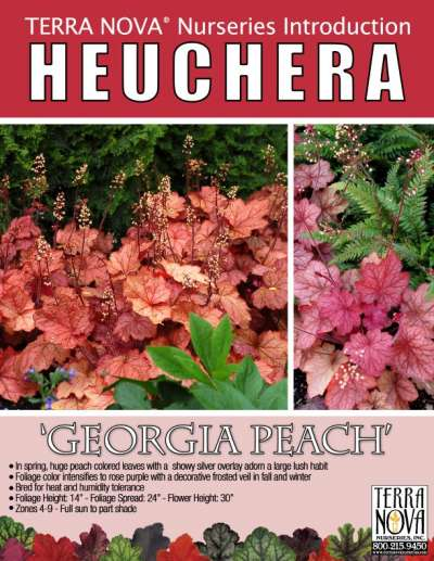 Heuchera 'Georgia Peach' - Product Profile