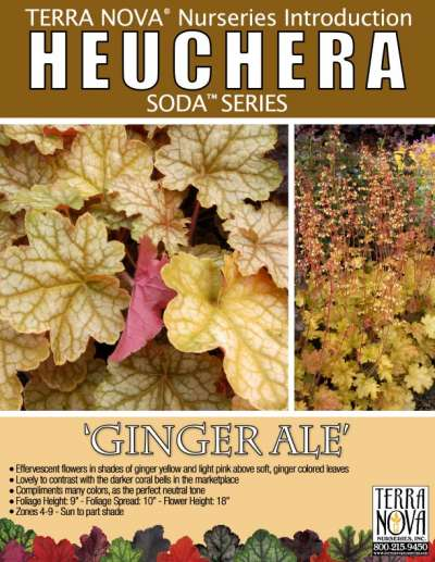 Heuchera 'Ginger Ale' - Product Profile