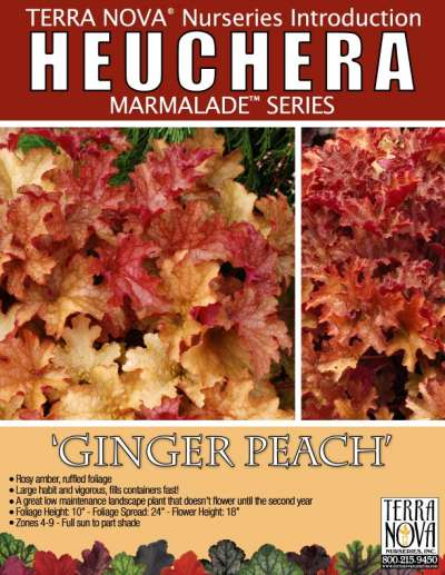 Heuchera 'Ginger Peach' - Product Profile