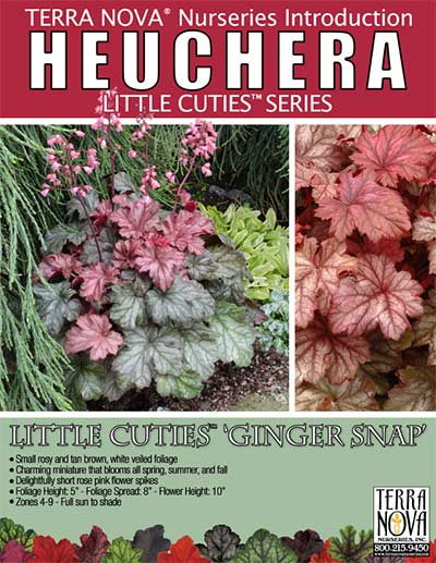 Heuchera 'Ginger Snap' - Product Profile