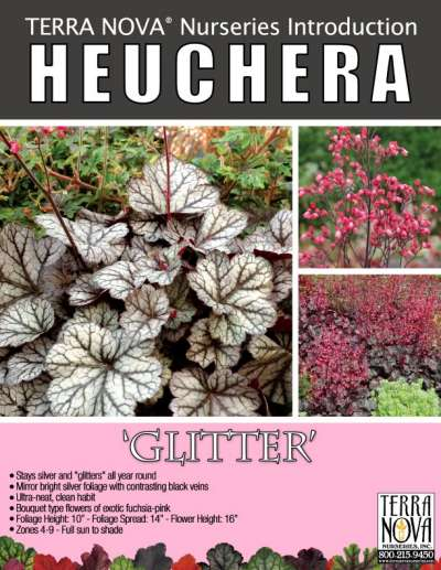 Heuchera 'Glitter' - Product Profile