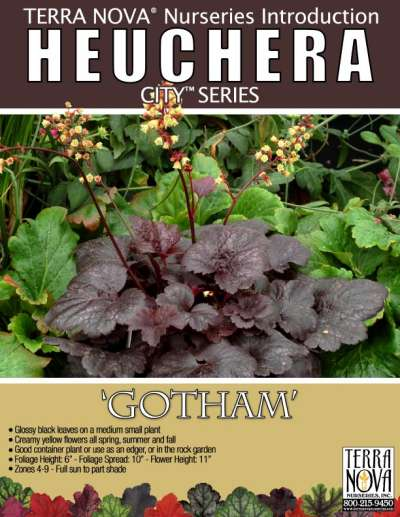 Heuchera 'Gotham' - Product Profile