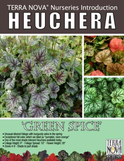 Heuchera 'Green Spice' - Product Profile