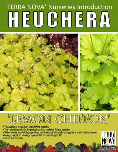 Heuchera 'Lemon Chiffon' - Product Profile