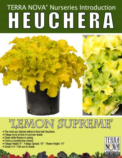 Heuchera 'Lemon Supreme' - Product Profile