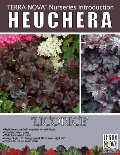 Heuchera 'Licorice' - Product Profile