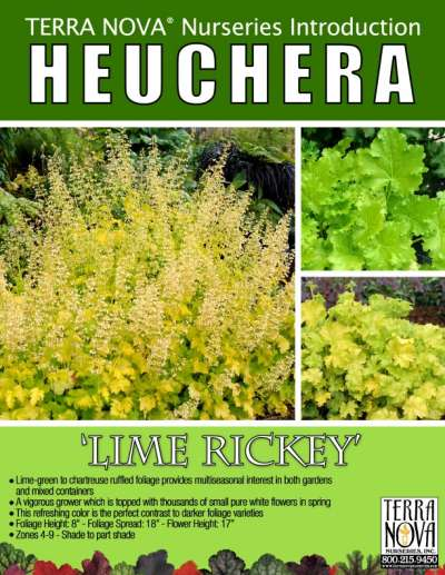 Heuchera 'Lime Rickey' - Product Profile
