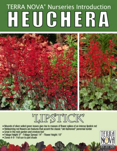 Heuchera 'Lipstick' - Product Profile