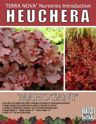Heuchera 'Mahogany' - Product Profile