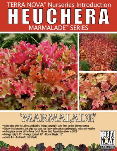 Heuchera 'Marmalade' - Product Profile