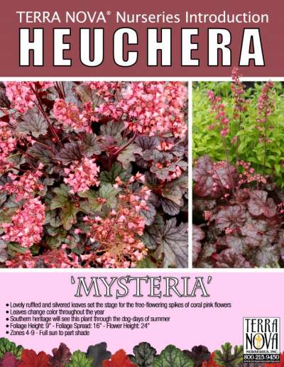 Heuchera 'Mysteria' - Product Profile
