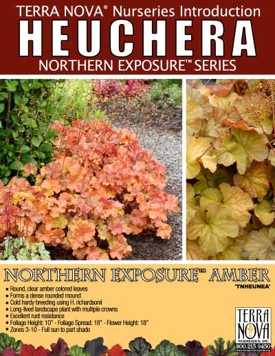 Heuchera NORTHERN EXPOSURE™ Amber - Product Profile