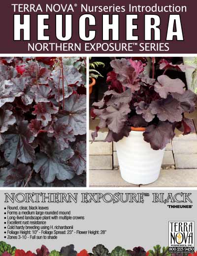 Heuchera NORTHERN EXPOSURE™ Black - Product Profile