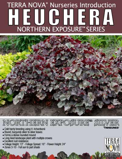 Heuchera NORTHERN EXPOSURE™ Silver - Product Profile