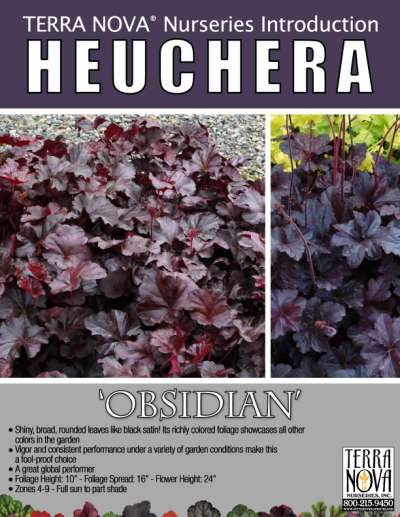 Heuchera 'Obsidian' - Product Profile