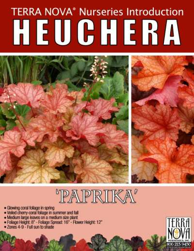 Heuchera 'Paprika' - Product Profile