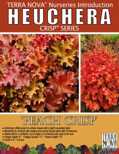 Heuchera 'Peach Crisp' - Product Profile