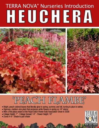 Heuchera 'Peach Flambe' - Product Profile