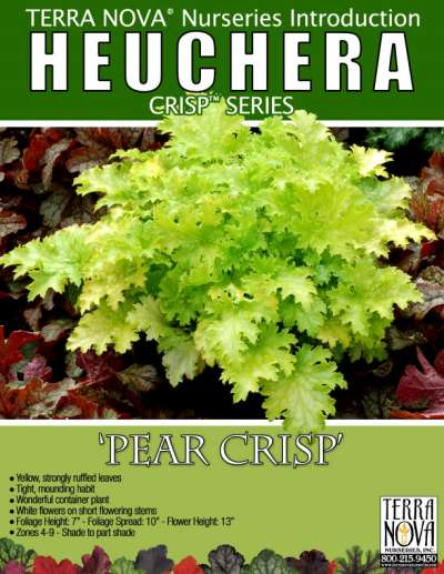 Heuchera 'Pear Crisp' - Product Profile