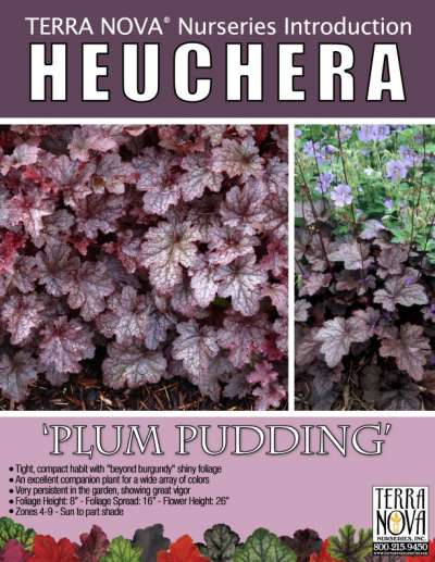 Heuchera 'Plum Pudding' - Product Profile