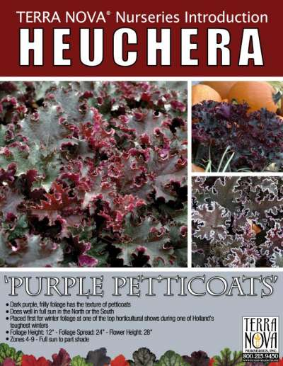 Heuchera 'Purple Petticoats' - Product Profile