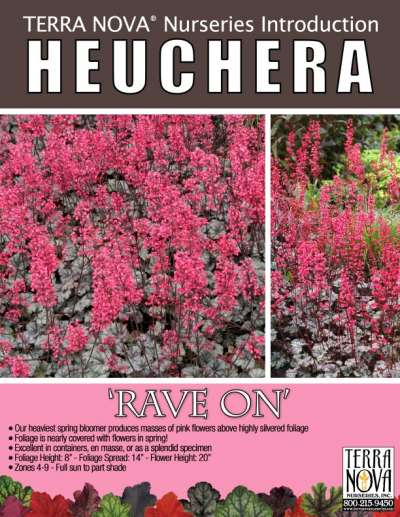 Heuchera 'Rave On' - Product Profile