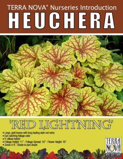Heuchera 'Red Lightning' - Product Profile