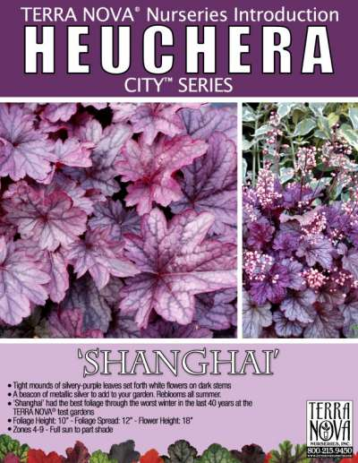 Heuchera 'Shanghai' - Product Profile