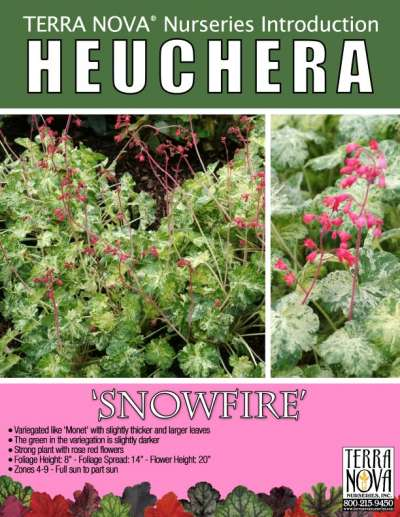 Heuchera 'Snowfire' - Product Profile