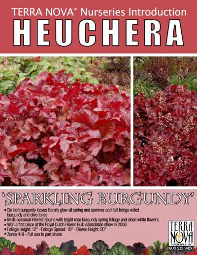 Heuchera 'Sparkling Burgundy' - Product Profile