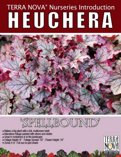 Heuchera 'Spellbound' - Product Profile
