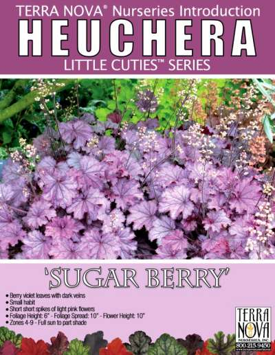 Heuchera 'Sugar Berry' - Product Profile