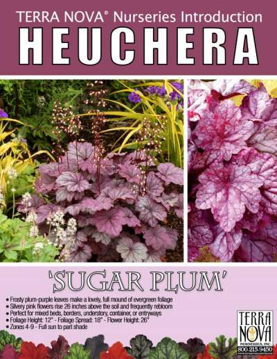 Heuchera 'Sugar Plum' - Product Profile
