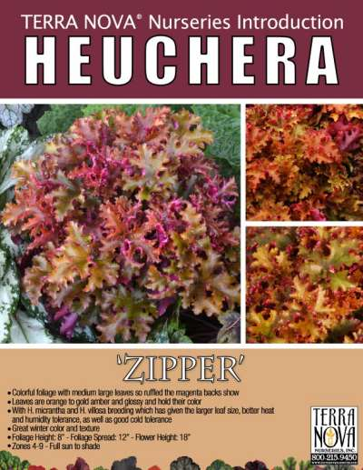 Heuchera 'Zipper' - Product Profile