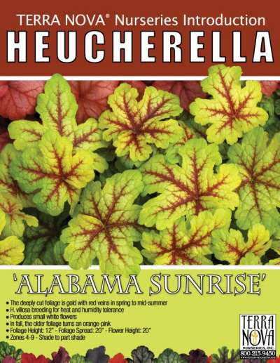 Heucherella 'Alabama Sunrise' - Product Profile