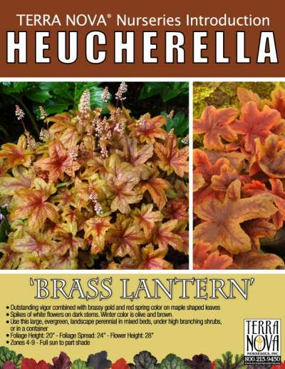 Heucherella 'Brass Lantern' - Product Profile
