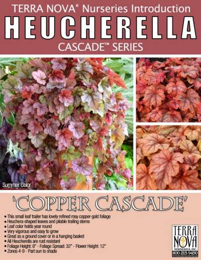 Heucherella 'Copper Cascade' - Product Profile
