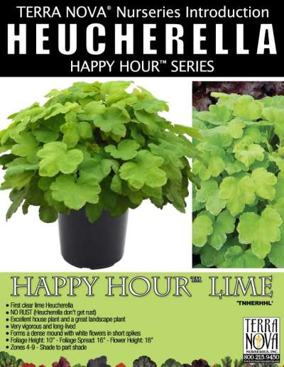 Heucherella HAPPY HOUR™ Lime - Product Profile