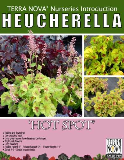 Heucherella 'Hot Spot' - Product Profile