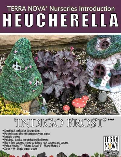 Heucherella 'Indigo Frost' - Product Profile