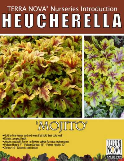 Heucherella 'Mojito' - Product Profile
