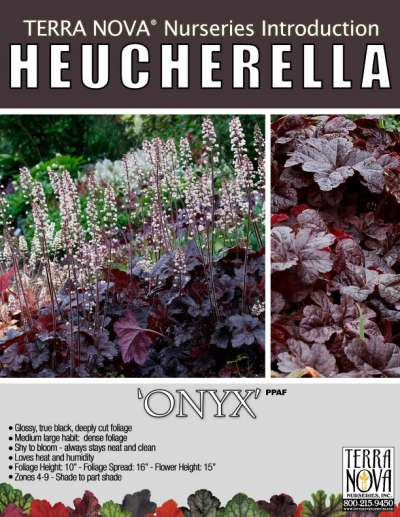 Heucherella 'Onyx' - Product Profile