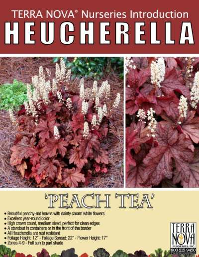 Heucherella 'Peach Tea' - Product Profile