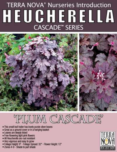 Heucherella 'Plum Cascade' - Product Profile